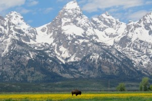 Buffalo Roam Tours - Connect to Wild Places! :: Small Group & Private Tours. Best Scenic & Wildlife tours of Yellowstone & Grand Teton. Teton tours include a Jenny Lake boat ride. Geysers, Bison, & Bears! Book Now!