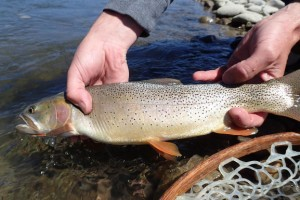 Snake River Angler :: Full Service Fly Fishing Shop & Guide Service. Guided trips on 13 area rivers, all within a 2 hour drive from Jackson Hole, including Grand Teton & Yellowstone National Parks!