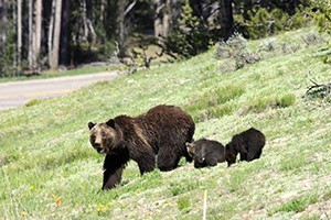 Outdoor Adventures National Park Safaris :: Jackson Hole and Yellowstone's Premier Outfitter since 1991 by Owner/Guide Greg Falk! Year-Round Private Adventures, National Park safaris, Scenic Floats, & Spin/Fly Fishing!