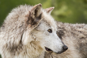 Outdoor Adventures Yellowstone Wolf Safari :: LOCALLY OWNED by Wyoming native, Greg Falk. PRIVATE OVERNIGHT WOLF SAFARI in Yellowstone National Park. The BEST WILDLIFE EXPERIENCE! Great for Families! AVAILABLE YEAR-ROUND.