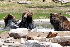 Grizzly & Wolf Center - West Yellowstone