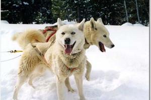Dog Sled Adventures