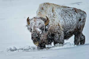 Grand Teton & Yellowstone Safaris - Winter 2019!
