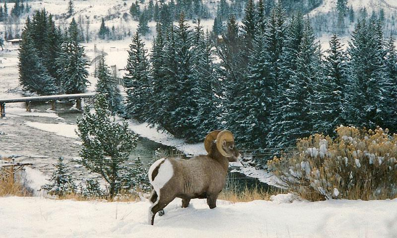 Big Horn Sheep overlooking Hoback River near Jackson Hole Wyoming