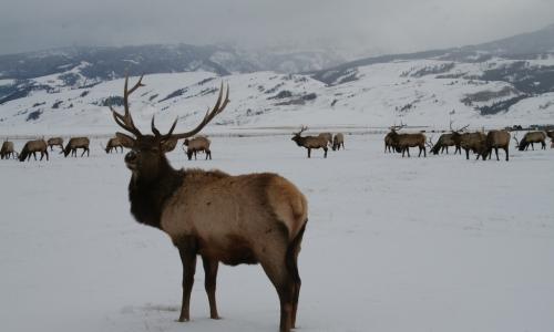 Jackson Hole Elk Refuge