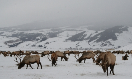 National Elk Refuge Grand Teton