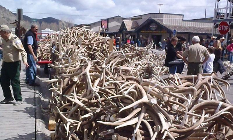 Jackson Hole Wyoming Elk Antler Auction Alltrips