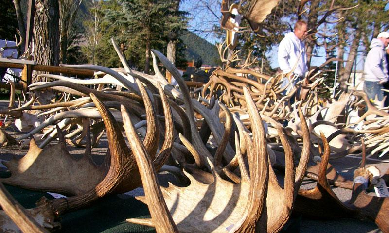 Elk Fest and Antler Auction in Jackson Wyoming