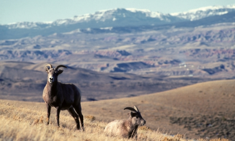 Bighorn Mountains Dubois Wyoming Sheep