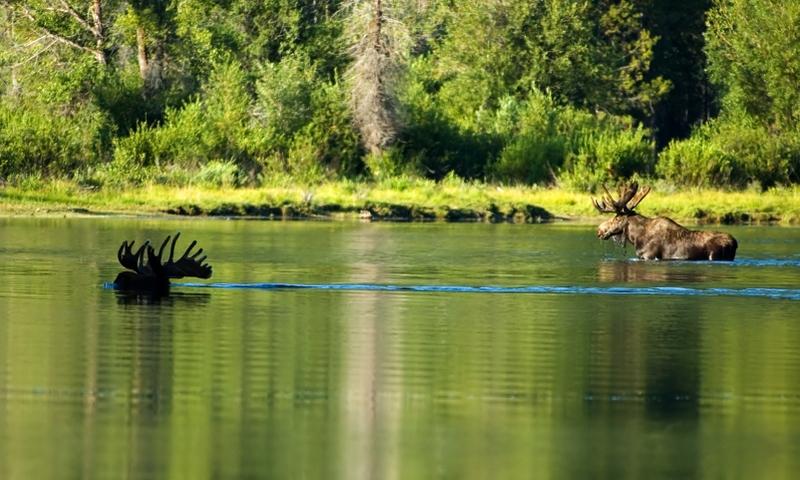 Moose Wildlife Grand Teton National Park