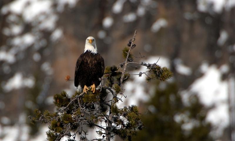 Eagle Bald Wildlife