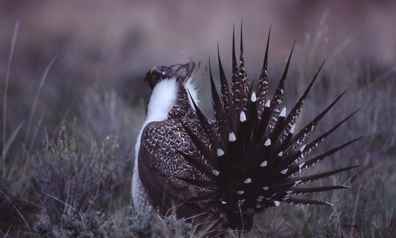 Sage Grouse Wildlife