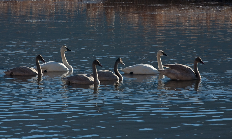 Swans Swan Nature Wildlife