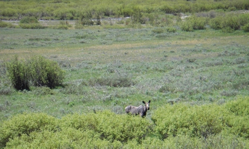 Star Valley Wyoming Greys River Moose Wildlife