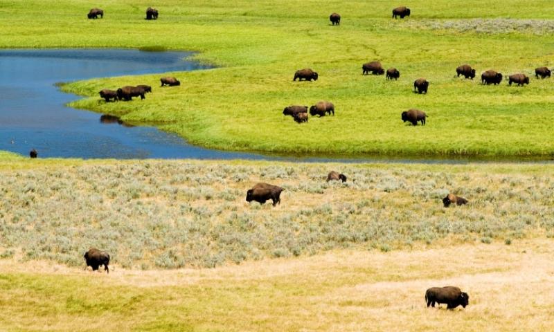 Yellowstone National Park Buffalo Bison