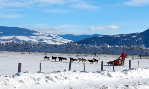 Jackson Hole Wyoming Dog Sledding
