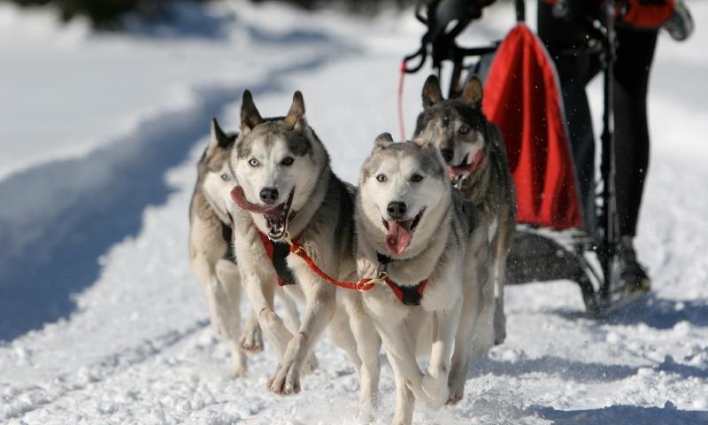 Jackson Hole Dog Sledding