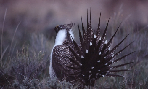 Sage Grouse Wildlife
