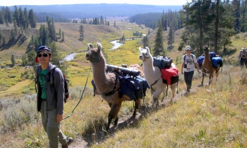 Llama Trek in Yellowstone National Park
